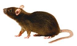 dératisation rats bruns Paris